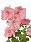 Petunia della Rosa fotografia stock libera da diritti