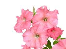Petunia della Rosa Fotografia Stock