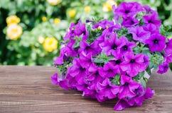 Petunia di fioritura rosa in vaso sulla tavola di legno Immagini Stock Libere da Diritti