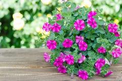 Petunia di fioritura rosa in vaso sulla tavola di legno Fotografie Stock Libere da Diritti