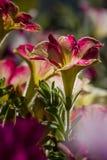 Petunia dichte omhooggaand Stock Foto