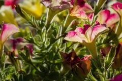 Petunia dichte omhooggaand Royalty-vrije Stock Afbeelding