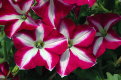 Petunia 'Easy Wave Burgundy Star'. Grouping of burgundy-red petunias with a star design on its petals Royalty Free Stock Photography