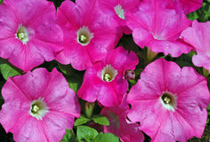 Petunia Easy Wave Pink Royalty Free Stock Photo