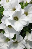 Petunia 'Easy Wave White'. Cluster of brilliant pure white petunia flowers with pale yellow eyes Stock Photo