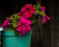 Petunia in een pot Royalty-vrije Stock Afbeelding