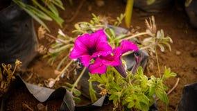 petunia stock foto's