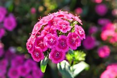 Petunia eller petunia Hybrida arkivbild