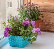 Petunia en chrysanten op een venster Royalty-vrije Stock Fotografie