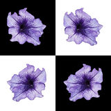 Petunia en diverso fondo Imagen de archivo libre de regalías