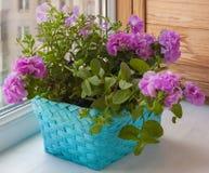 Petunia en una cesta Fotografía de archivo libre de regalías