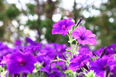Petunia Fantasy Blue. Class hybrid with small flowers Petunia Fantasy Blue stock photography