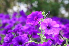 Petunia Fantasy Blue. Class hybrid with small flowers Petunia Fantasy Blue stock image