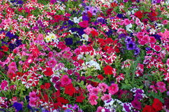 Colors. Colored Petunia field. Flower background  Royalty Free Stock Image