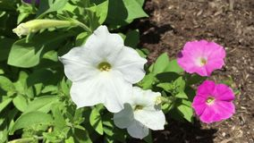 Petunia field video stock video