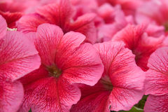 Petunia flower Stock Photography