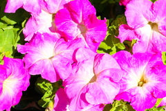 Petunia flower Stock Image