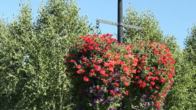 Petunia Flower Baskets. Two very large and beautiful red and purple petunia hanging flower baskets with green leaves hanging from a light pole in a public park stock footage