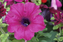 Petunia flower. A beautiful purple petunia flower Royalty Free Stock Photography