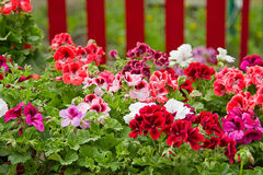 Petunia Flower Bed Royalty Free Stock Photo