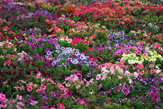 Petunia flower beds Royalty Free Stock Image