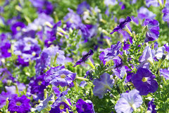 Petunia flower beds of white and purple Royalty Free Stock Photos