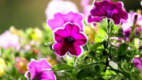 Petunia flower stock video footage