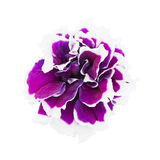 Petunia flower closeup. Petunia flower isolated on a white background Stock Images