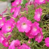 Petunia flower Royalty Free Stock Image