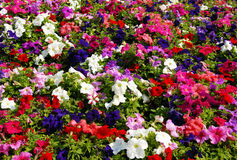 Petunia flower field Royalty Free Stock Images