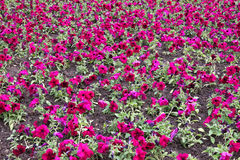 Petunia flower field Stock Image