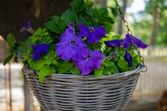 Petunia flower in a flowerpot in an outdoor garden in the village stock images