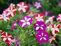 Petunia Flower. In the Garden Stock Photos