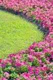 Petunia Flower. In the Garden Stock Images