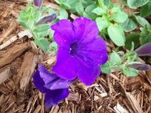 Petunia Flower In Garden Stock Images