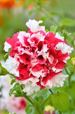 Petunia flower in garden Royalty Free Stock Photos