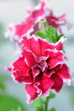 Petunia flower in garden, close up view Royalty Free Stock Photo