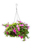 Petunia flower. Hanging basket with a petunia flower isolated on a white background Royalty Free Stock Photography