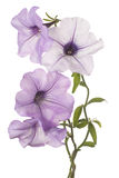 Petunia flower isolated Royalty Free Stock Photography