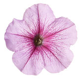 Petunia flower isolated Stock Photos