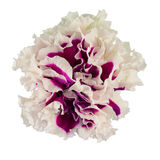 Petunia flower. Isolated on a white background Stock Images