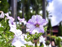 Petunia Flower and Palm Trees. Stock Photography