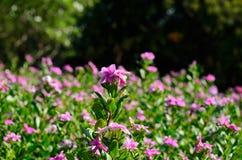 Petunia flower (Petunia hybrida) Royalty Free Stock Photography