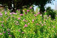 Petunia flower (Petunia hybrida) Royalty Free Stock Images