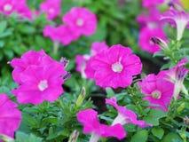 Petunia Flower. Pink Petunia Flower in the Garden Stock Image