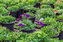 Petunia flower plants in greenhouse,Thailand Stock Photos