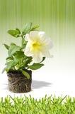 Petunia flower poster Royalty Free Stock Photo