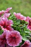 Petunia flower in a pot. Petunia, Petunia in the garden, Petunia in a pot, Petunia and blurred background, Close Up of Petunia flower royalty free stock images