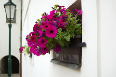 Petunia in a flower pot outdoors and lantern stock photo