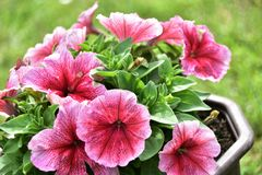Petunia flower in a pot. Petunia, Petunia in the garden, Petunia in a pot, Petunia and blurred background, Close Up of Petunia flower stock photography